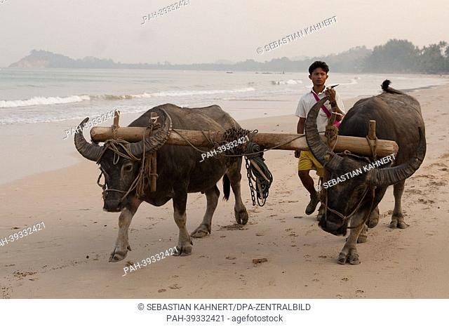 A man walks his two oxen along Ngapali Beach, Myanmar, at sunrise 10 April 2013. Photo: Sebastian Kahnert   usage worldwide. - Ngapali/Birma