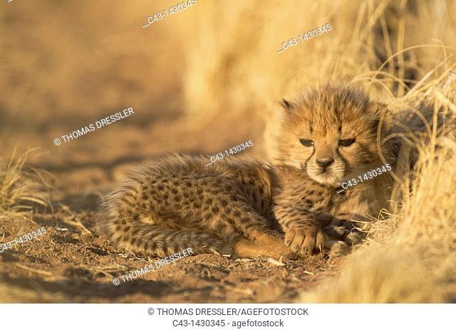 Cheetah Acinonyx jubatus - Tired 41 days old male cub  Photographed in captivity on a farm  Namibia