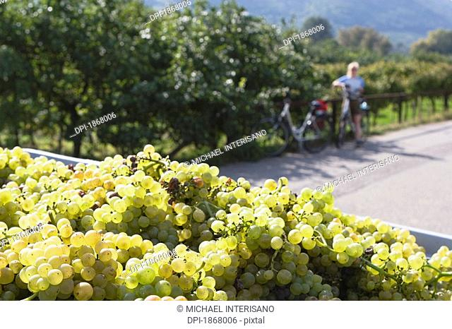 white grapes and female cyclist in the distance, joching, austria