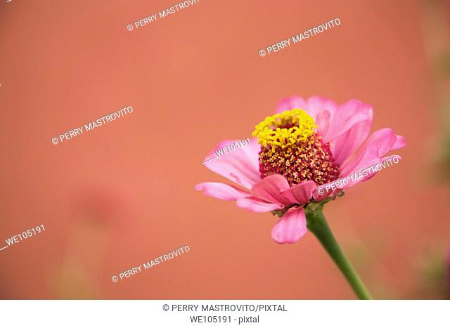 Close-up of a pink and yellow Dahlia flower, Goreme valley, Cappadocia region, Turkey