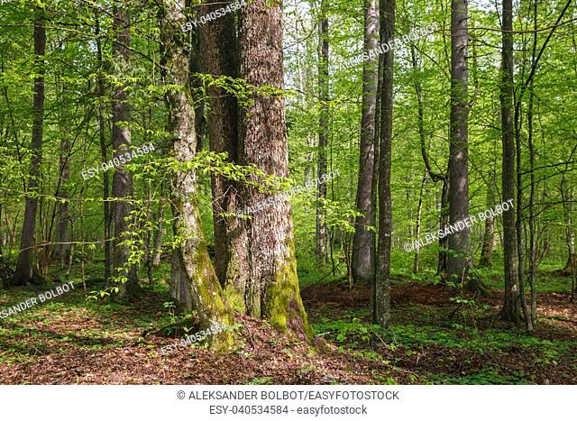 Fresh green springtime deciduous stand with hornbeam and oak trees in sunn, Bialowieza Forest, Poland, Europe