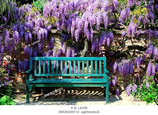 Chinese wisteria (Wisteria sinensis), wisteria with garden bench, Germany