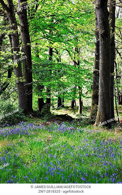 Wild flower Bluebells (Hyacinthoides non-scripta). North Lancashire. UK