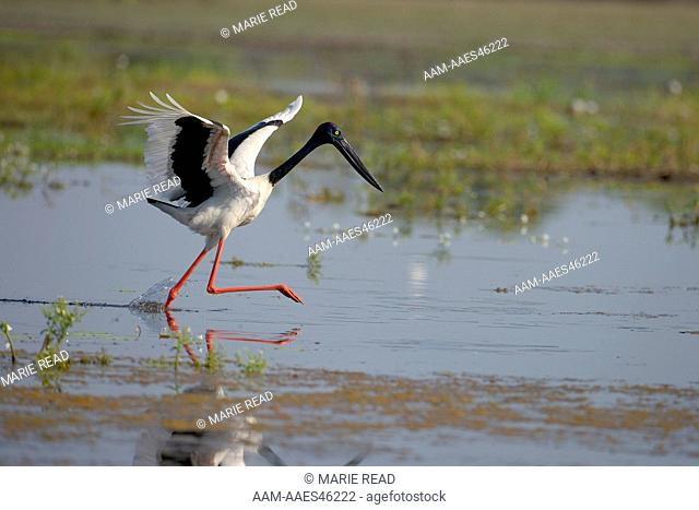 Black-necked Stork (=Jabiru) (Ephippiorhynchus asiaticus), adult female chasing prey, Yellow Water, Kakadu National Park, Northern Territory, Australia