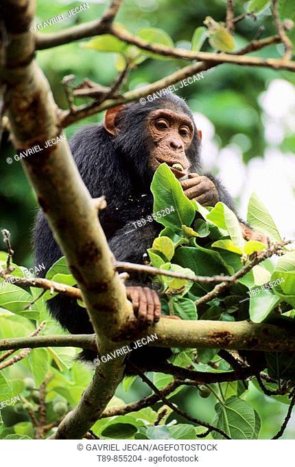 Chimpanzee Pan troglodytes, primate