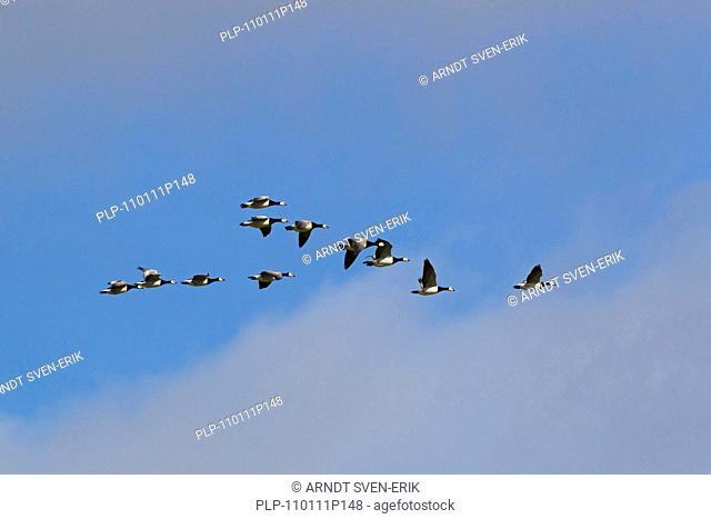Barnacle Geese Branta leucopsis flock in flight, Germany