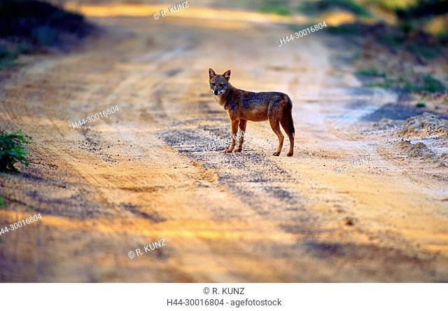 Golden Jackal, Canis aureus, Canidae, Jackal, animal, mammal, Yala National Park, Sri Lanka