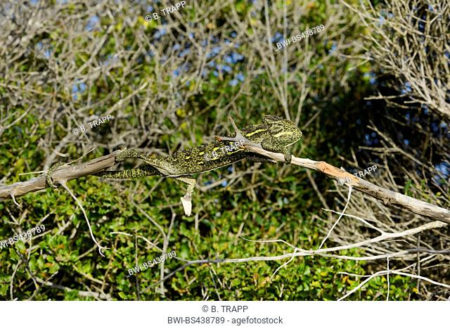 African chameleon (Chamaeleo africanus), in a bush, well camouflaged, Greece, Peloponnese, Pylos