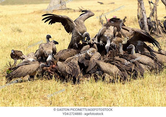Cape Vulture (Necrosyrtes monachus), eating the carcass of a Cape Buffalo (Syncerus caffer caffer). Savuti, Chobe National Park, Botswana