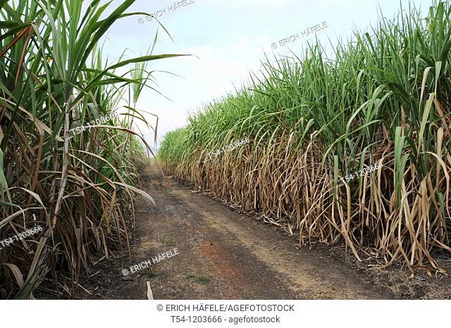 Sugar cane field near Kanchanaburi