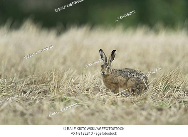 Anxious Brown Hare / European Hare ( Lepus europaeus ) sitting in a stubble field, harvested field