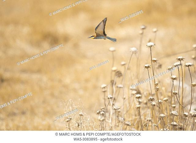 European Bee Eater starting fly on a yellow field in Garrotxa, Catalonia, Spain