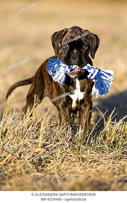 Boxer puppy, brown brindle, standing in a meadow with a dog toy, North Tyrol, Austria