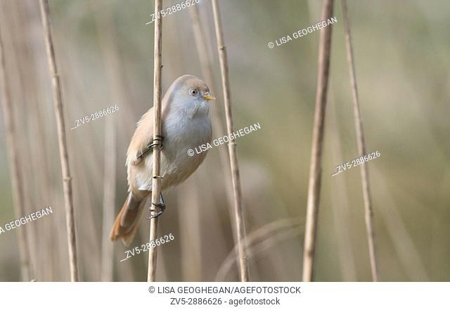 Female Bearded Tit-Panurus biarmicus. Uk