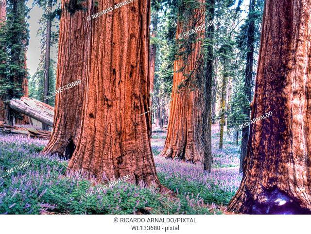 Sequoya Forest, Yosemite National Park, California
