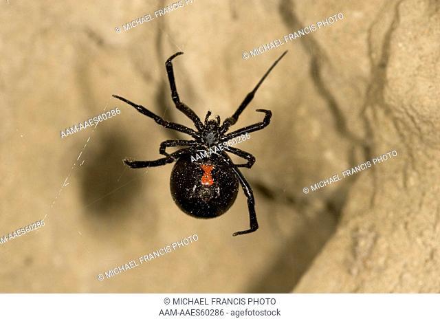 Black Widow Spider (Latrodectus mactans), female Molt MT