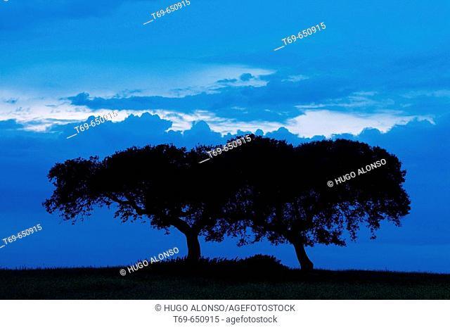 Quercus ilex. Monfrague Natural Park. Caceres province. Extremadura. Spain