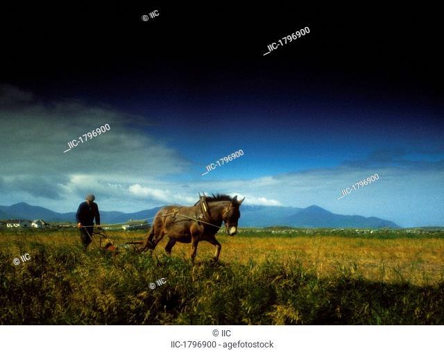 Traditional Harrowing, Castlegregory, Dingle Peninsula, Co Kerry, Ireland