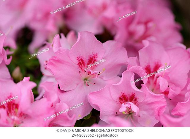 Close-up of blossoms from a Rhododendron