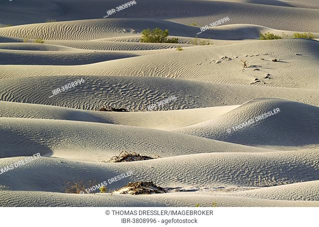 Honey Mesquite trees (Prosopis glandulosa torreyana) on the Mesquite Flat Sand Dunes in the early morning, Death Valley, Death Valley National Park, California
