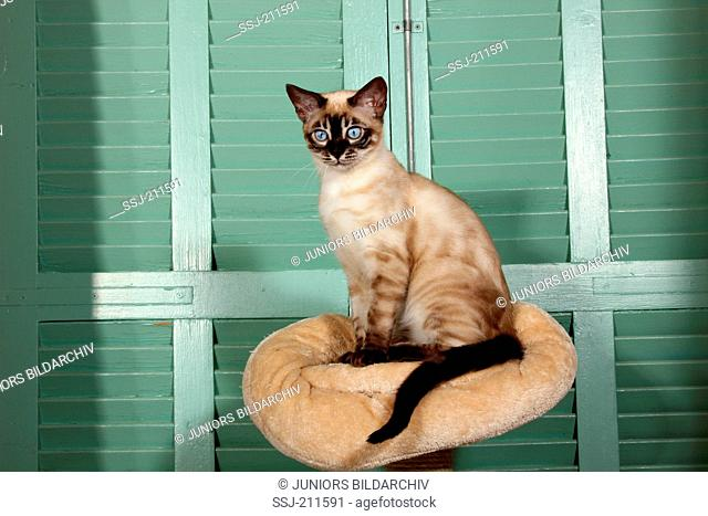 Bengal cat (seal point, snow). Adult sitting on a pet bed in front of green shutters. Spain