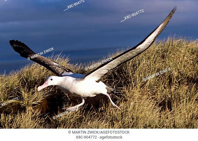 Wandering Albatross Diomendea exulans taking off, Island of South Georgia