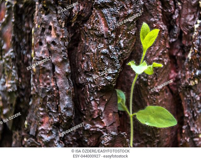One Single small shinny Green plant on pine tree bark. Concept image