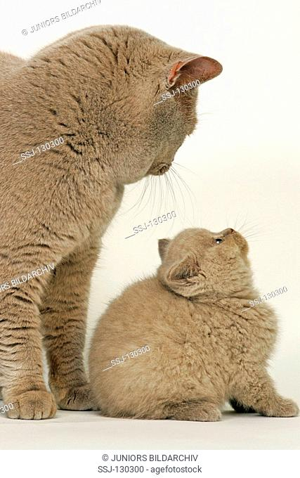 British Shorthair cat - with kitten