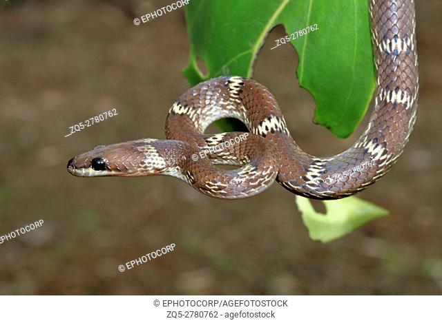 The common wolf snake (Lycodon aulicus) is a small, brown, nocturnal serpent. Non-venomous often enter human settlements in search of its favorite prey geckos