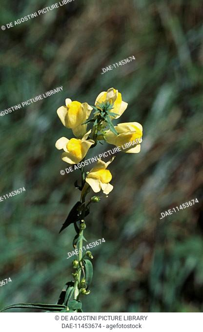 Flowering Common toadflax, Yellow toadflax, or Butter-and-eggs (Linaria vulgaris), Scrophulariaceae