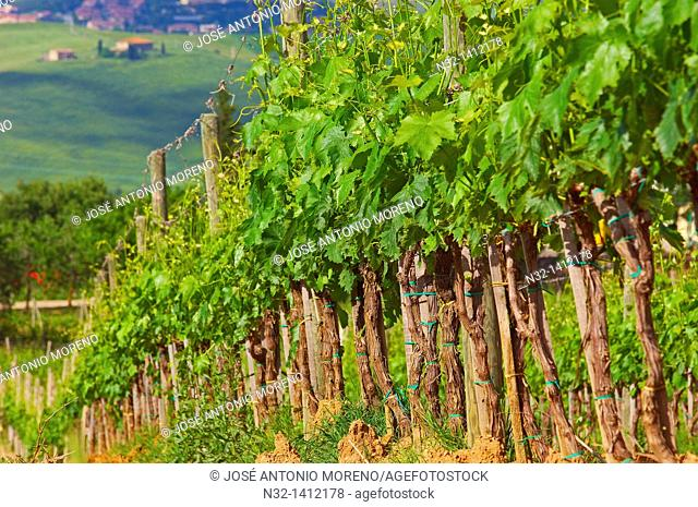 Vineyards, Montalcino, Val d'Orcia, UNESCO World Heritage Site, Siena Province, Tuscany, Italy