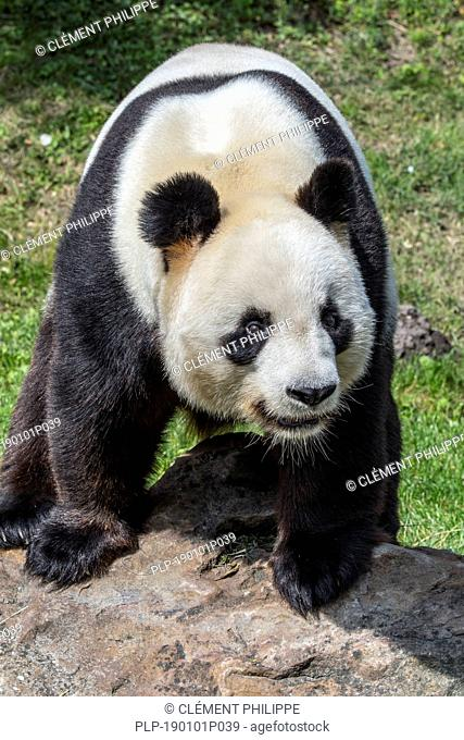 Giant panda (Ailuropoda melanoleuca) posing on rock in zoo / animal park / zoological garden