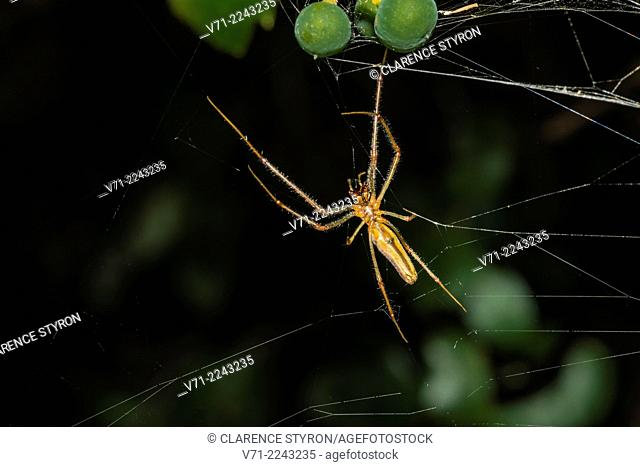 Long-jawed Orb Weaver Spider (Tetragnatha elongata) in Web