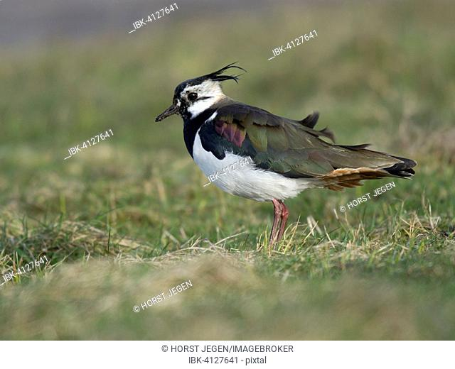 Lapwing (Vanellus vanellus), Texel, Province of North Holland, The Netherlands