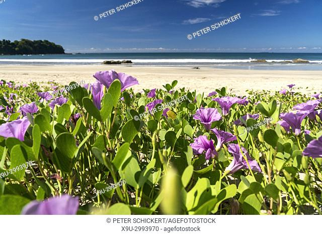 Beach morning glory (Ipomoea pes-caprae) blossoms on the beach, Ngwesaung, Myanmar, Asia