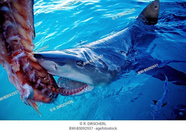 lemon shark (Negaprion brevirostris), biting single shark at the water surface, The Bahamas
