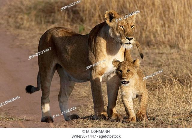 lion (Panthera leo), mother and young, Kenya, Masai Mara National Park