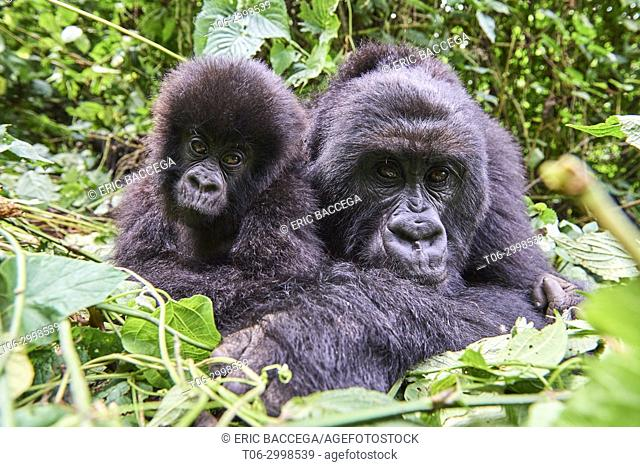Female Mountain gorilla (Gorilla beringei beringei) resting with her baby. Member of Humba group. Virunga National Park, North Kivu