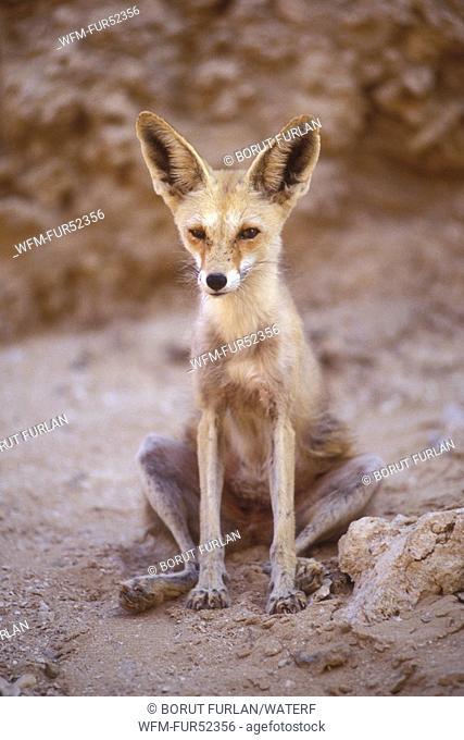 Fennec Fox, Vulpes zerda, Sinai, Egypt