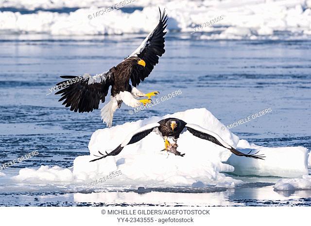 Steller's Sea Eagle, Haliaeetus pelagicus, in flight, Rausu, offshore Hokkaido, Sea of Okhotsk, Japan