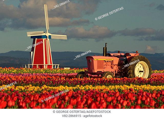 Tulip field with tractor and windmill, Wooden Shoe Bulb Co. , Clackamas County, Oregon