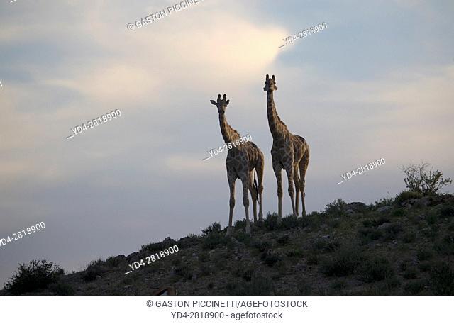 Giraffe (Giraffa giraffa giraffa), in the dune at sunrise, Kgalagadi Transfrontier Park, Kalahari desert, South Africa/Botswana