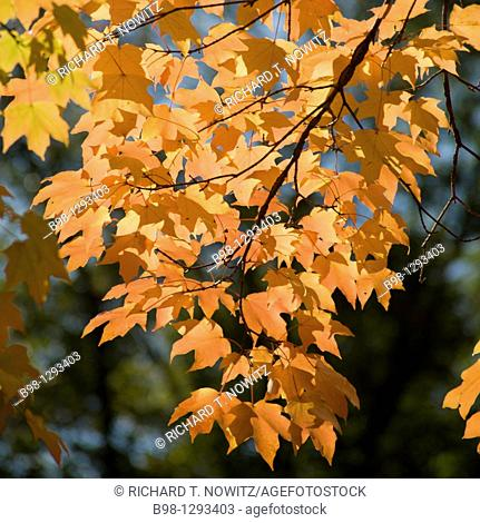 Maples trees provide Fall color in Great Falls, National park, Maryland