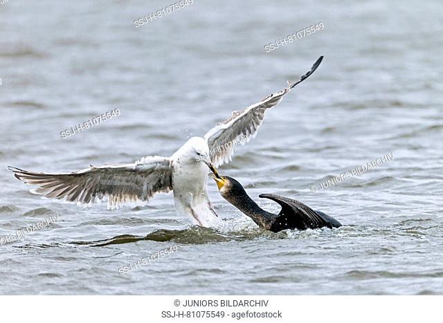 Juvenile Great Black-backed Gull (Larus marinus) trying to pull prey out of a Great Cormorants throat. Danmark
