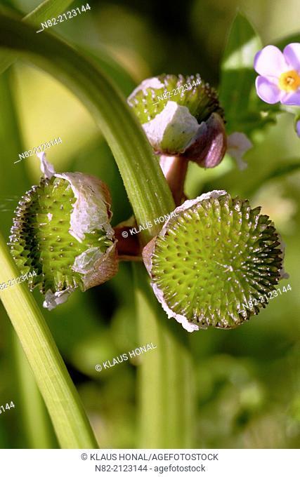 Seed vessels of Common Arrowhead (Sagittaria sagittifolia) flower. This plant growing in a same habitat than Forget-me-not (Myosotis sylvatica) flower - Region...