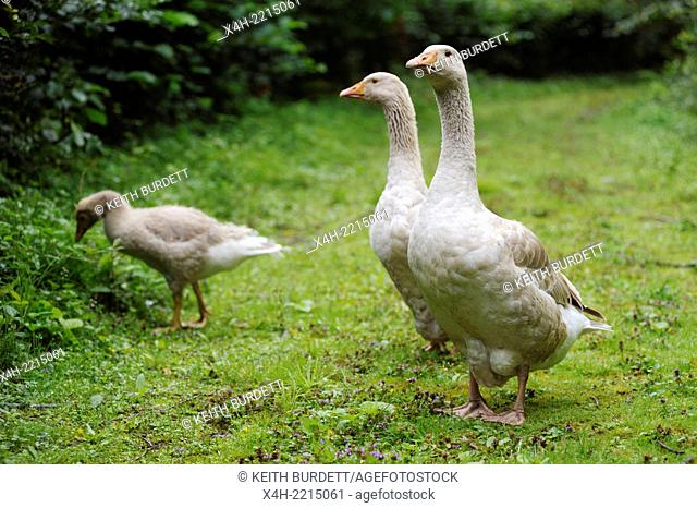 A pair of Brecon Buff geese with juvenile,grazing, foraging, Wales, UK