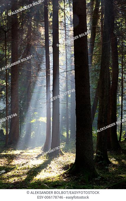 Sunbeam entering coniferous stand in misty morning