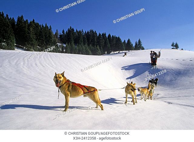sled dogs at Bellecombe, Jura department, Franche-Comte region of eastern France, Europe
