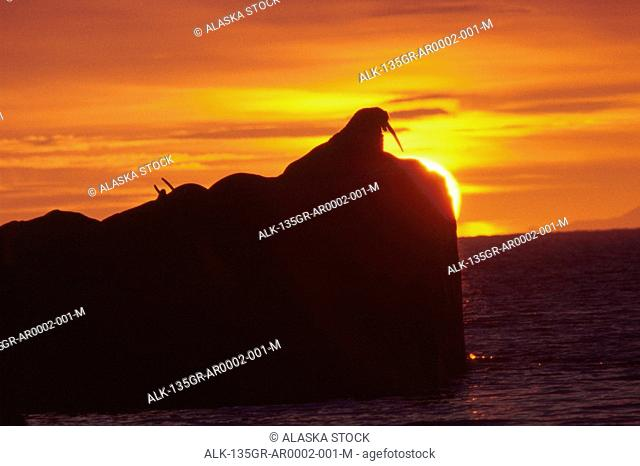 Walrus resting on rock sun- set Round Island SW Alaska summer scenic