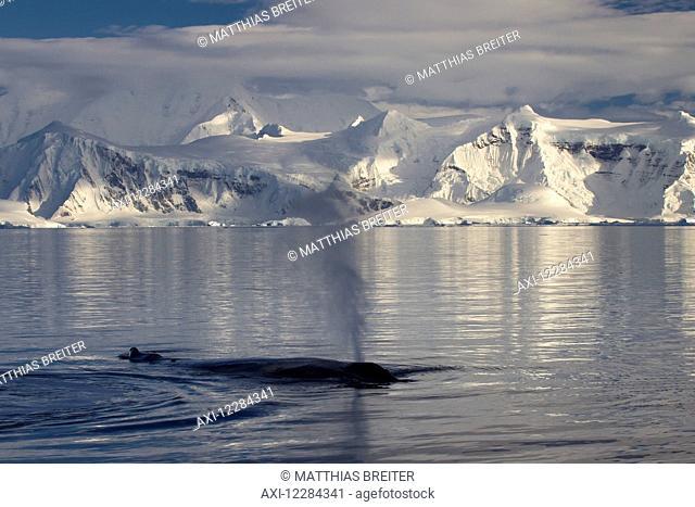 Humpback whale (Megaptera novaeangliae) in Gerlache Strait in front of Anvers Island, Antarctic Peninsula; Antarctica